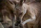 kangaroo - 221203556