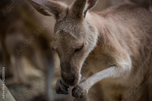 Obraz na płótnie Kangur