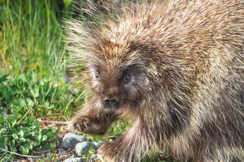 Foto Murales Porcupine waving hello