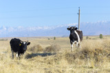 cows on pasture - 221229794