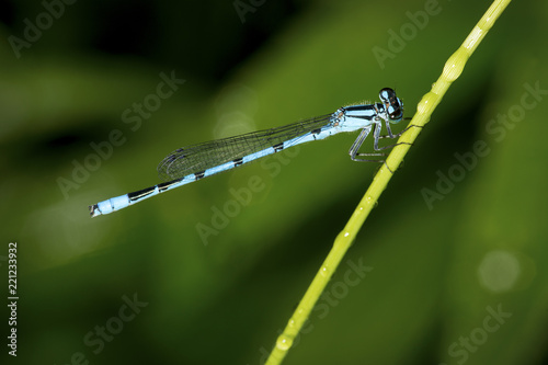 canvas print picture Bluet damselfly on a narrow leaf in New London, New Hampshire.
