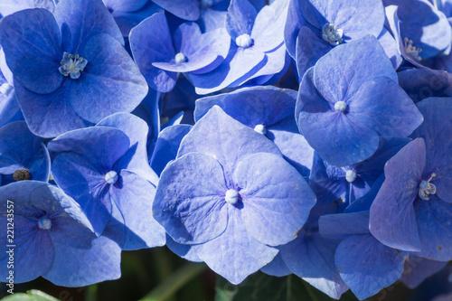 Foto Murales ortensia macrophylla blu