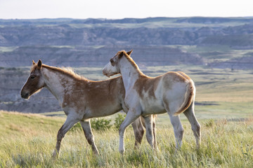 Wild mustangs of North Dakota © Nicki