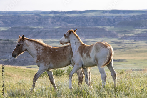 Wild mustangs of North Dakota © Nicki