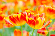 Colorful tulip flower blooming in garden , Rayong Thailand.