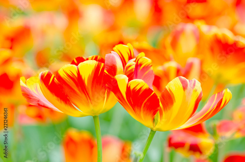 Fototapeta Colorful tulip flower blooming in garden , Rayong Thailand.
