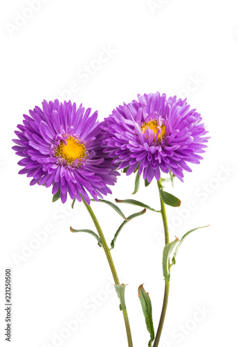 flower lilac asters isolated - 221250500