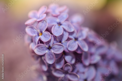Flowers on a branch of lilac in nature - 221251338