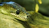 Cuban boa, Epicrates angulifer,  this snake is threatened with extinction. - 221257978