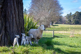 A mother sheep with triplets stands in the shade of a tree on a farm - 221259327