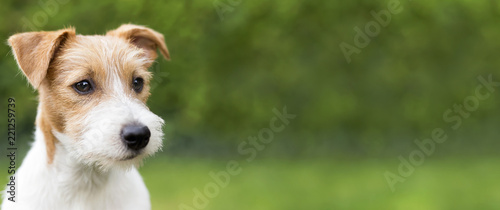 Web banner of a happy cute jack russell terrier puppy pet dog