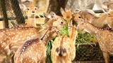Deers in chiangmai , Thailand - 221262731
