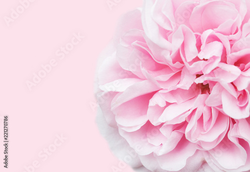 Foto Murales Soft focus pink rose with space for text ideal for greeting card