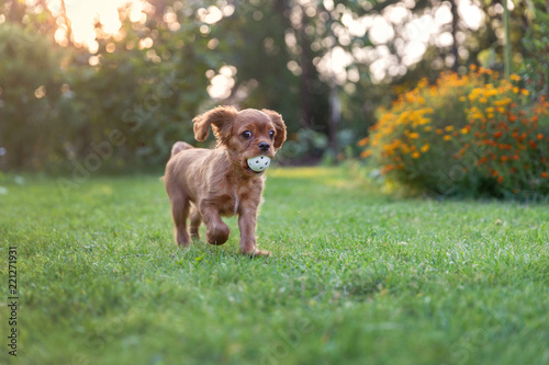 Happy puppy playing with ball - 221271931