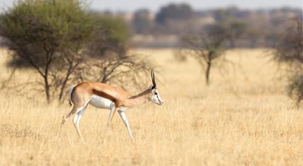 Springbok antelope (Antidorcas marsupialis) in it's natural habitat