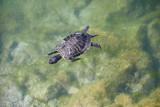 Schwimmende Schildkröte - 221277176