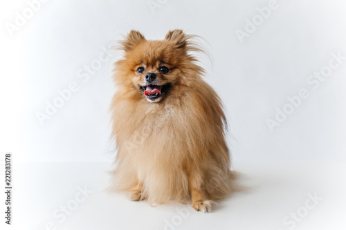 an image of furry Spitz puppy on white background
