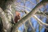 Rotes Eichhörnchen mit Winterfell frisst Nuss auf Baum Ast - 221283928