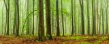 Zielony las bukowych drzew w deszczu i mgle