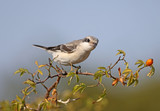 junior lesser gray shrike (Lanius minor) sits on a branch of a dogrose against a blue sky - 221285780