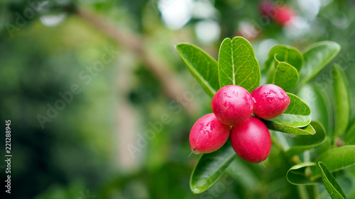 Foto Murales Super fruit (Carissa carandas Linn.) on tree in Natural Garden.