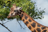Isolated portrait of a giraffe head and neck against a blue sky with blurred trees. - 221292910