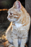 Ginger cat looking left with sunlight coming from the back, at the barn - 221296515