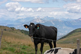 Black and white mottled cows