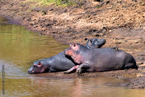 Foto Murales Close hippo or Hippopotamus amphibius in water