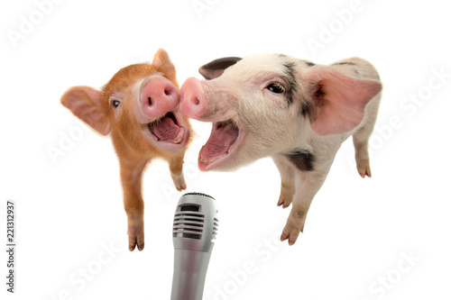 Fototapeta two piglet are singing into the microphone