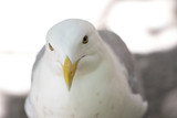 portrait of a seagull - 221314948