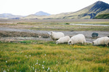 Sheeps on a field of Landmannalaugar - 221315958