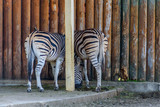 two zebras in the zoo - 221319319