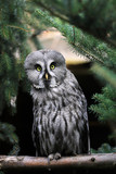 Full body of adult male great grey owl (Strix nebulosa) - 221320782