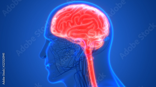 Human Brain Anatomy | Buy Photos | AP Images | DetailView