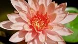 Lotus, Lotusblumen in Asien, Japan - 221322750