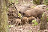 Wildschweine Gruppe mit Jungtieren - 221334768