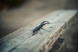 stag beetle - 221337769