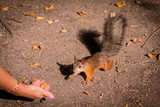 Squirrel in the Park chewing on some nuts. - 221341147