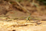 Dragonfly resting on the ground. The Province Of Xiangkhoang. Laos. - 221351183