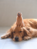 Golden retriever and its own model - 221379573