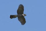 Eurasian sparrowhawk (Accipiter nisus) - 221382507