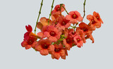 A bunch of bright red hibiscus flowers is on a white background - 221387173