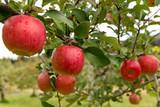 Apple farm garden - 221387397