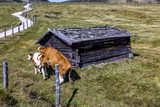 Cows on the pasture - 221391375