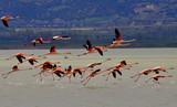flamingos on thelake