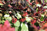 Ornamental shrub (Physocarpus opulifolius), grade Diablo. It is used in landscape design, in living fences. The leaves are dark, evenly purple. Selective focus, abstract background. - 221404341