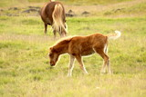 icelandic horse foal grazing in a pasture in iceland - 221404716