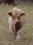 Schottisches Hochlandrind-Kalb auf einer Weide im Hochsommer