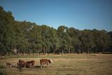 Herd of brown cows in summer meadow. - 221408157
